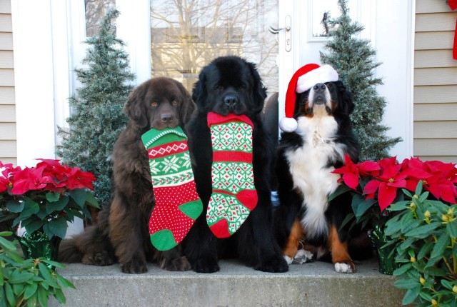 Cute Christmas Dogs Card